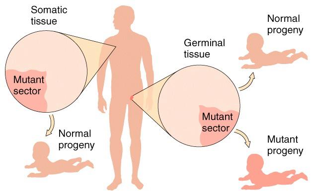 celulas germinales y somaticas