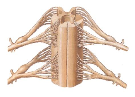 Médula Espinal características y funciones