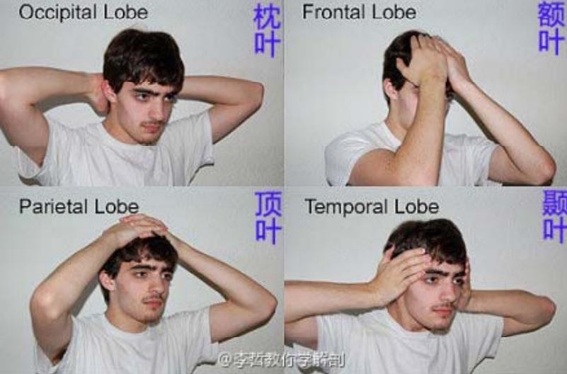 Telencéfalo partes características y funciones