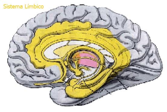 Sistema Límbico Ventricular Cápsulas
