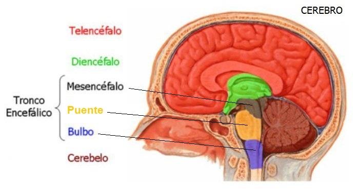 Cerebelo y Tronco Encefálico